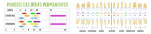 calendrier de perte et poussée des dents permanentes