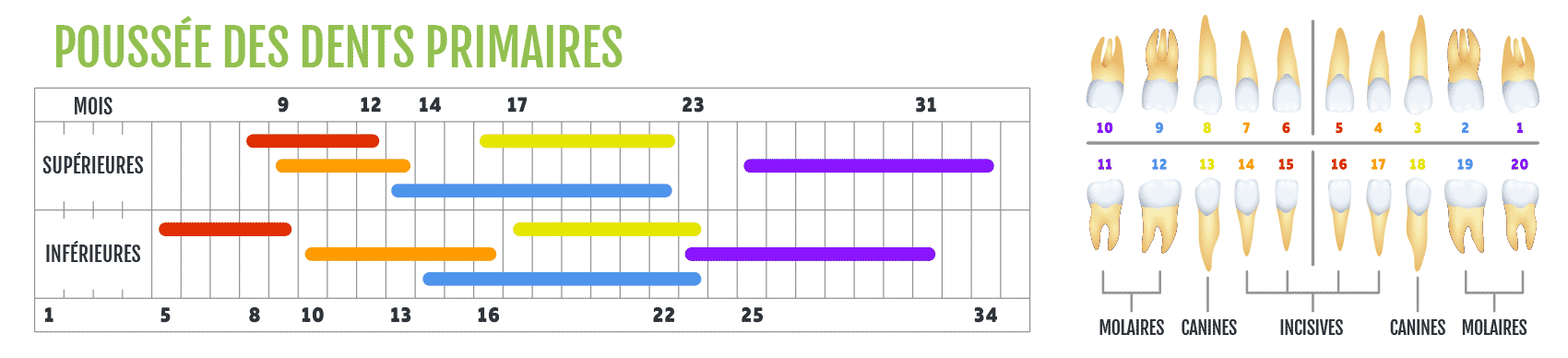 calendrier de poussée des dents primares