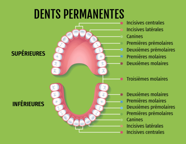 schéma des dents permanentes