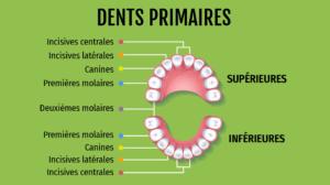 schéma des dents primaires